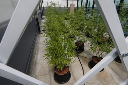 Названа новая «мировая столица» марихуаны