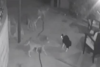Кот отразил нападение трех койотов
