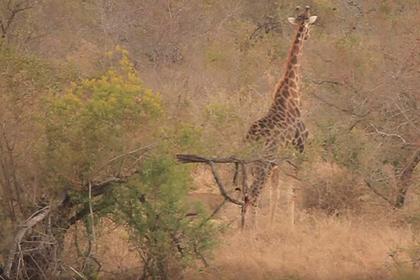 Жираф отогнал девять львиц копытами