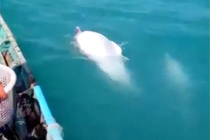 Рыбаки сняли на видео редчайших дельфинов-альбиносов