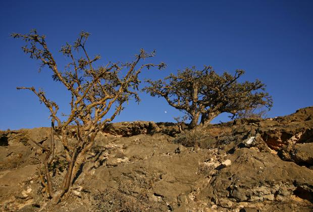 Ладанные деревья