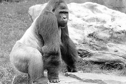 Единственную выжившую на пожаре гориллу расстреляли из пулемета