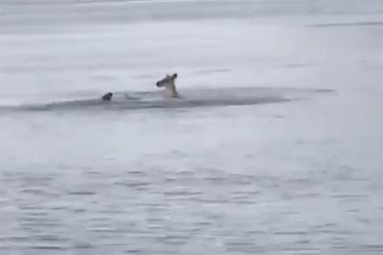 Кенгуру пытался утопить преследовавшую его собаку и попал на видео