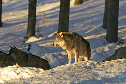 Россиянин пошел охотиться на волка и застрелил сына