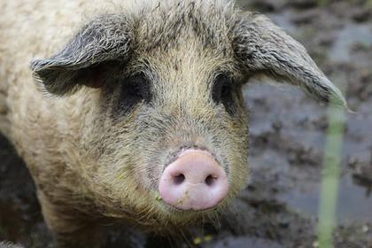 Польский фермер получил сердечный приступ и был съеден гигантскими свиньями