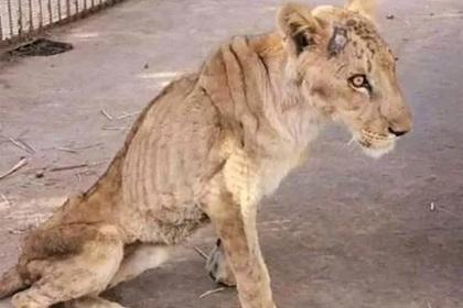 Пять львов обрекли на голодную смерть в зоопарке