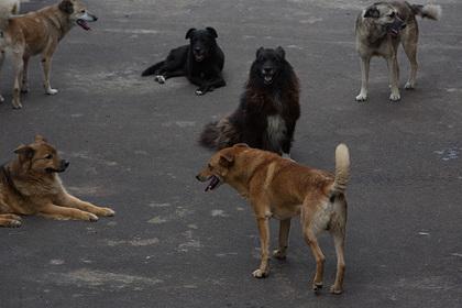 Более десятка собак напали на российского школьника