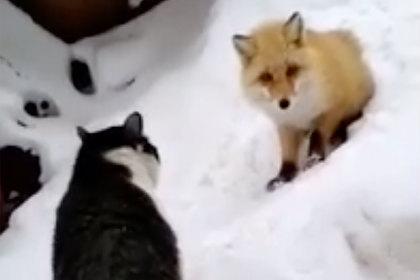 На Ямале кот и лиса сразились за кусок колбасы и попали на видео