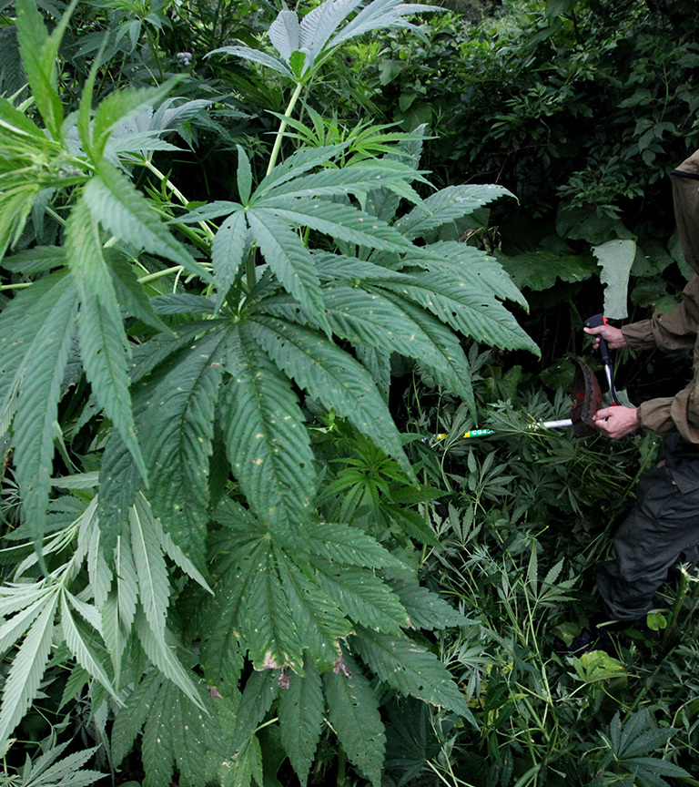 Где купить марихуану в тольятти сведения о конопле