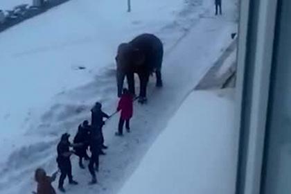 Слоны сбежали из российского цирка ради сугробов