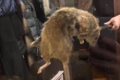 Россияне поймали крысу размером с бобра
