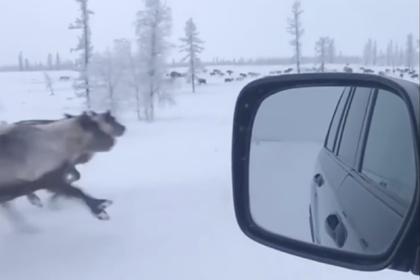Гонки оленей с россиянином на машине по тундре попали на видео