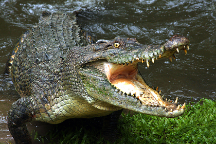 Крокодил-убийца съел рыболова
