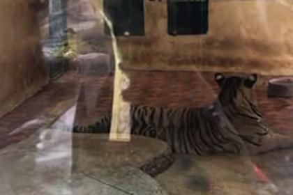 Тигры в зоопарке разрывали визжащих поросят на потеху публике