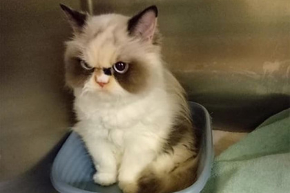 В сети нашли «воскресшую» Grumpy Cat и умилились