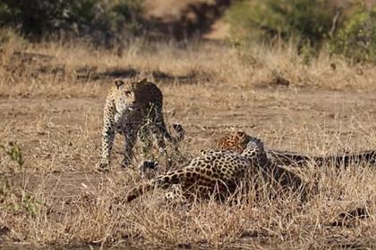 Самка леопарда разогнала дерущихся из-за нее самцов и попала на видео