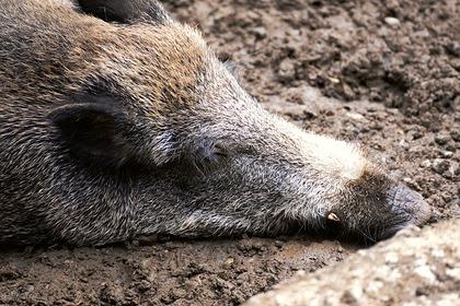 В российском регионе выявлена вспышка африканской чумы свиней