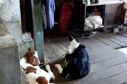 Россиянка поселила трехлетнюю внучку в загоне с телятами и козлятами