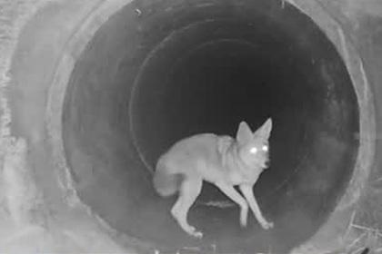 Игра койота с барсуком попала на скрытую камеру и озадачила ученых