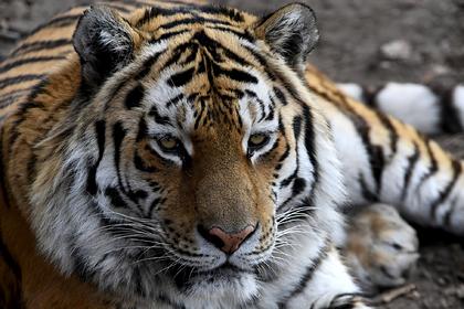 В России браконьеры убили одного из самых редких хищников на планете