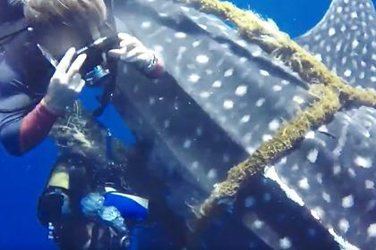 Аквалангисты освободили самую большую акулу в мире