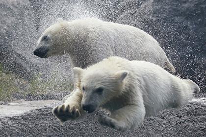 Белых медведей в России посчитают по новой методике
