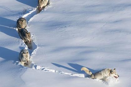 «Шерстяной волчара с мощными лапищами» из популярного мема оказался самкой