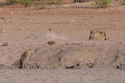 Погоня львицы за невнимательной леопардицей попала на видео