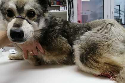 Российские живодеры отрубили бездомному псу лапу и бросили на улице