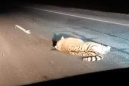 В России автобус насмерть сбил одного из самых редких хищников на планете