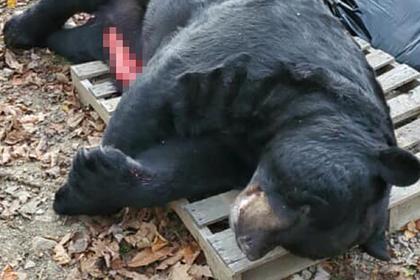 Охотник застрелил из лука рекордно большого медведя весом в несколько центнеров