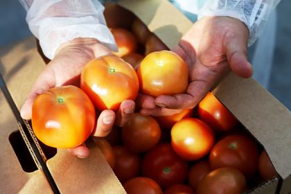 Турецким поставщикам запретили везти в Россию свои помидоры