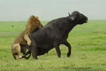 Лев помог трусливой львице одолеть буйвола