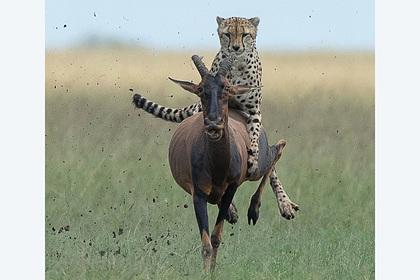 Гепард запрыгнул на антилопу и прокатился на ней верхом