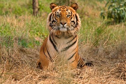 Тигр растерзал леопарда в борьбе за территорию и полакомился его внутренностями