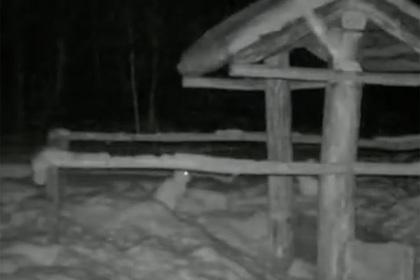 Драка возбужденных зайцев попала на видео