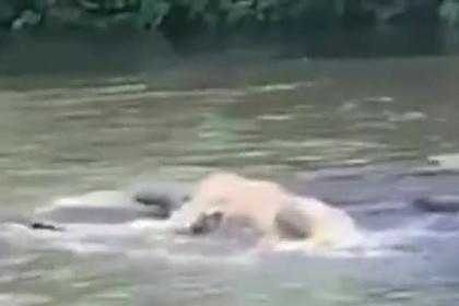 Огромный крокодил напал на плывшую по реке корову и попал на видео