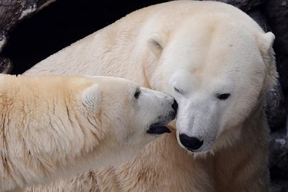 Белые медведи переселились на юг Арктики