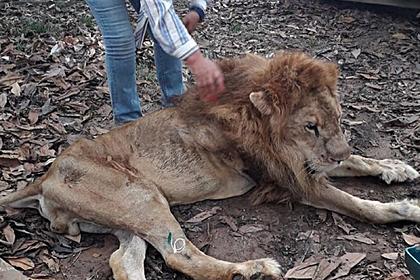 Зоозащитники забрали льва у хозяйки и довели его до истощения