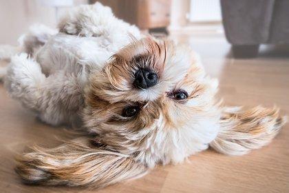 В Гонконге собака заразилась коронавирусом от хозяина