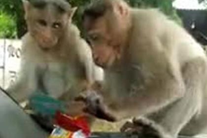 Голодные обезьяны напали на машину в поисках еды и попали на видео