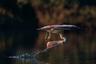 Индиец Зайн Джеймс (Zhayynn James) фотографирует дикую природу и всегда старается сделать так, чтобы его снимки рассказывали какую-нибудь историю. Чаще всего Джеймс работает в Африке и в джунглях Индии.  <br> <br> Серого пеликана, который опустил голову из-за тяжести оказавшейся в его горловом мешке воды, Джеймс сфотографировал на священной для индусов реке Кавери.
