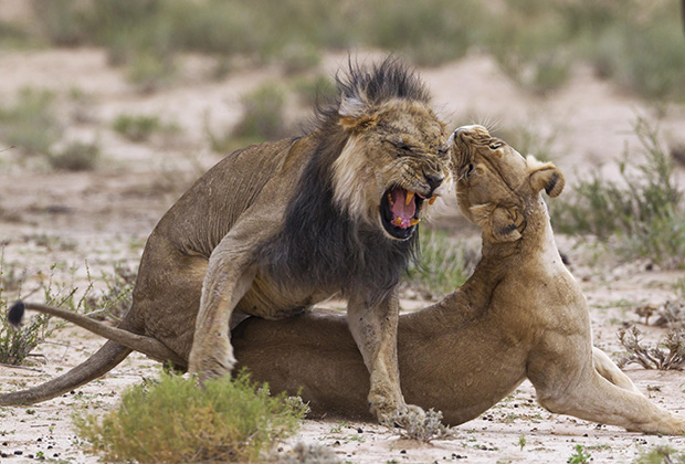 Половой диморфизм у львов