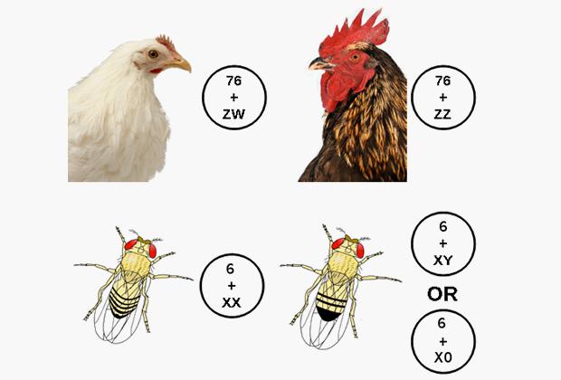 Определение пола у птиц и двукрылых насекомых