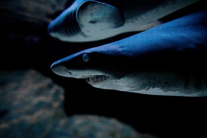 Акулы-людоеды впервые растерзали заживо семиметрового кита