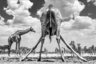 Для того чтобы запечатлеть слонов и диких кошек в их естественной среде обитания — Национальном парке Этоша в Намибии — шведскому фотографу Маркусу Вестбергу (Marcus Westberg) прошлось провести несколько дней под палящим солнцем. «Я догадывался, что, если запастись терпением, можно получить шанс сфотографировать жирафов на водопое. Но я даже представить себе не мог, что один из них распластается над лужей таким образом! Он подарил мне интересный ракурс, и я его тут же поймал. Настойчивость, терпение и умение затаиться в диких условиях всегда вознаграждаются — например, вот таким кадром», — делится Вестберг.