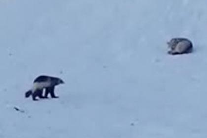 Волки и росомаха сразились в тундре и попали на видео