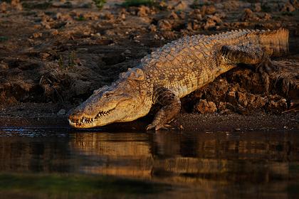 Нападение крокодила на женщину сняли на видео
