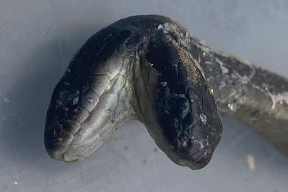 Змея родила змеелову двухголового змееныша