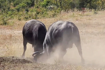 Напряженная схватка двух буйволов попала на видео